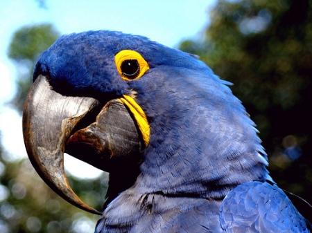 Arara azul, Blue macaw